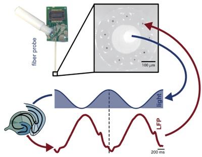 Synthetic brain rhythms | Scientists used optogenetic stimulation to induce slow brain rhythms in vivo